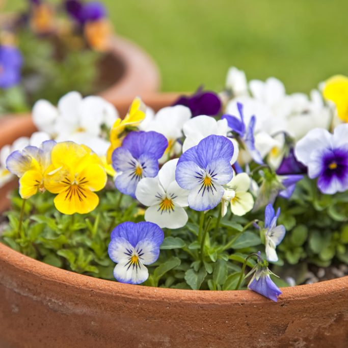 Small pansies or viola planted in clay pots in the springtime garden.